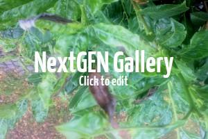Braune Blätter am Kirschlorbeer – So sieht Echter Mehltau aus und das sind die Gegenmaßnahmen