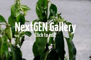 Portugiesischer Kirschlorbeer Angustifolia – gelbe Blätter nach Einpflanzen – Tipps?