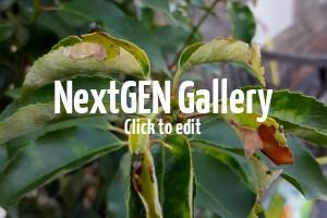 Blätter vom Portugiesischen Kirschlorbeer werden braun und trocken – was könnten die Ursachen sein?