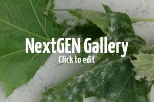Auf Blättern von Platanen ist ein weißer Befall – was ist das und was kann man unternehmen?