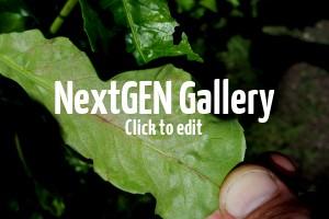 Blätter vom Kirschlorbeer blassen und wellen sich – ist das Echter Mehltau und was kann man tun?