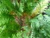 Braunfärbung der Zypresse \'Ivonne\'