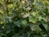 Ahorn / Acer mit Mehltau