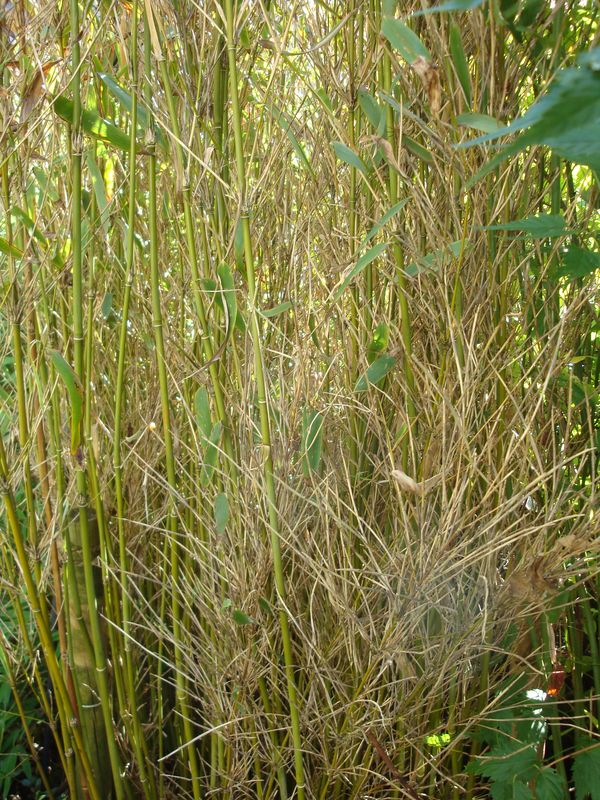 Bambus Wird Braun Auch Neuaustriebe Wo Liegt Das Problem