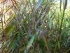 Bambus Fargesia wird braun