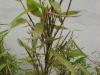 Probleme mit Bambushecke