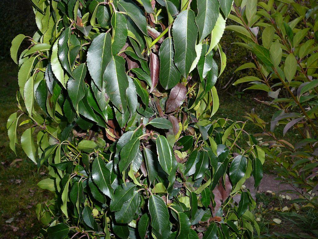 Kirschlorbeer / Prunus Hat Seit Dem Pflanzen Braune Und