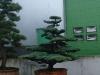 garten-bonsai-0014