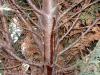 Thuja / Lebensbaum mit Erkrankung