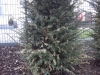 Taxus Baccata / Eibe mit Frostschaden / Trockenschaden