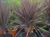 Cordyline australis Atropurpurea - Keulenlilie