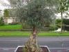 Olea europaea / Olive aus dem südlichen Europa als Halbstamm