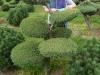 Gartenbonsai