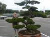 Besonders außergewöhnlicher Outdoor-Bonsai