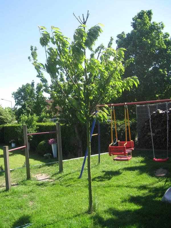Fabelhaft Abgestorbener Ast an Kirschbaum – deutet das auf ein ernsthaftes @OR_17