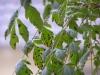 Blasenbaum / Koelreuteria mit Pilzbefall