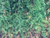 Thuja Smaragd mit Pilzbefall