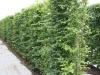Heckenelemente Rotbuche Carpinus Betulus in Reihe auf der Anbauflläche