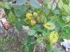 Rosen mit Pilzbefall