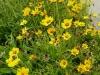 Coreopsis lanceolata Sterntaler / Zwergiges Garten-Maedchenauge