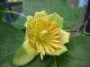 Liriodendron tulipifera aureomarginatum / Goldgelber Tulpenbaum