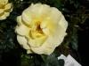 Rose / Beetrose Bayerngold