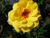 Rose / Edeldrose Golden Glow