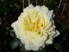 Rose / Kletterrose Elfe