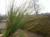 Tränenkiefer / Pinus wallichiana mit gelben Nadelspitzen