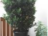 Euonymus japonicus (japanischer Spindelstrauch) Juli 2012