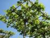 Dachspalier im Frühling - noch wenig belaubt