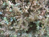 Buchsbaumzünsler Schadbild auf Buxus