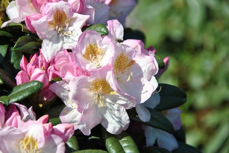 rhododendron azaleen fragen bilder pflanz und. Black Bedroom Furniture Sets. Home Design Ideas