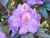 02_rhododendron-blutopia