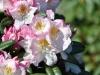 04_rhododendron-brigitte