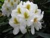 06_rhododendron-catawbiense-album