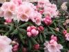 07_rhododendron-koichiro-wada