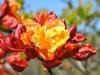 16_rhododendron-sunte-nectarine