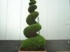 03_spirale_cupressocyparis_-castlewellan_250-300cm