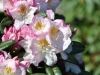 02_inkahro-rhododendron-brigitte