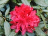06_-inkahro-rhododendron-hachmanns-feuerschein