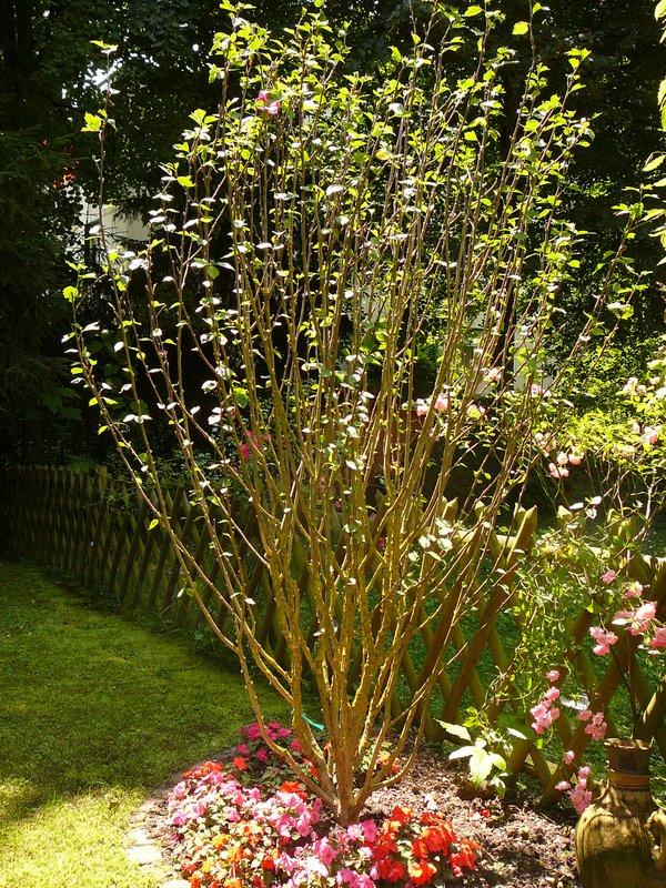 befall am eibisch hibiscus pilz sch dling oder kranheit fragen bilder pflanz und. Black Bedroom Furniture Sets. Home Design Ideas