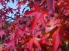 03_herbstblueher_liquidambar-acalycina-chinesischer-amberbaum-jpg