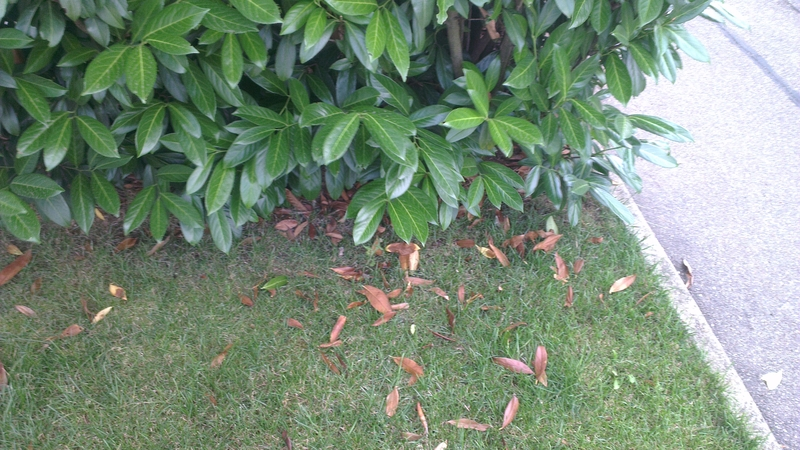 Glanzmispel Verliert Blätter kirschlorbeer hecke verliert regelmäßig viele blätter tipps