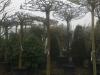 18_morus_alba_macrophylla_dachspalier_weisser_maulbeerbaum_stu_25-30cm_c150