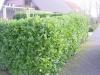 04_kirschlorbeer-prunus-rotundifolia