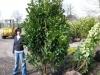 08-prunus-caucasica-300-cm-kirschlorbeer