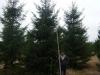 06_fichte_rottanne_picea_abies_600-700cm