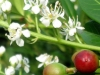 07_prunus_rotundifolia_bluete_frucht