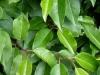 11_prunus_lusitanica_angustifolia_blatt